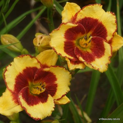 daylily-Paco-Bell-1
