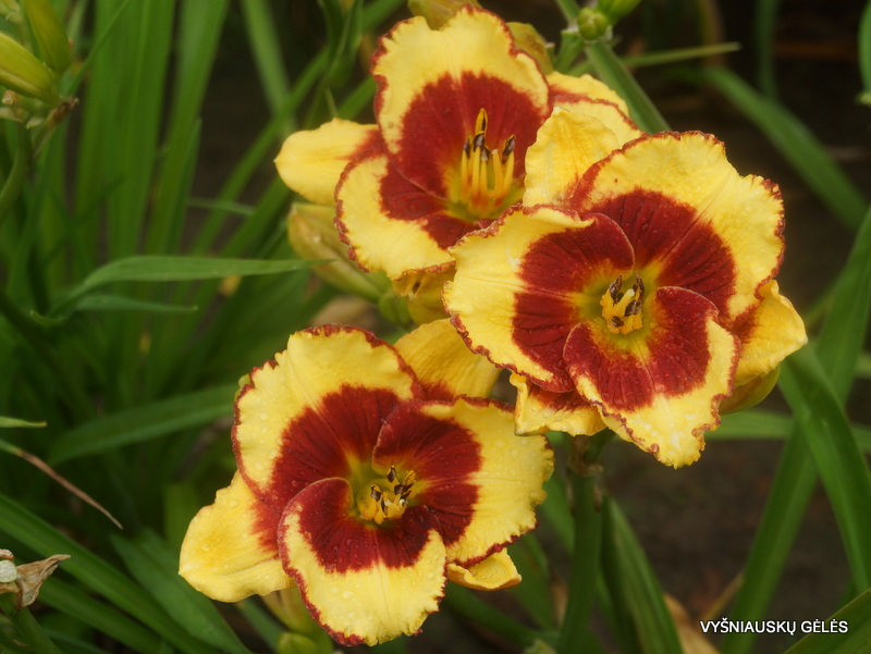 daylily-Paco-Bell-2