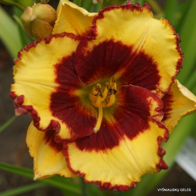 daylily-Paco-Bell