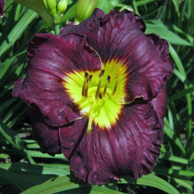 daylily-Paint-it-Black-2