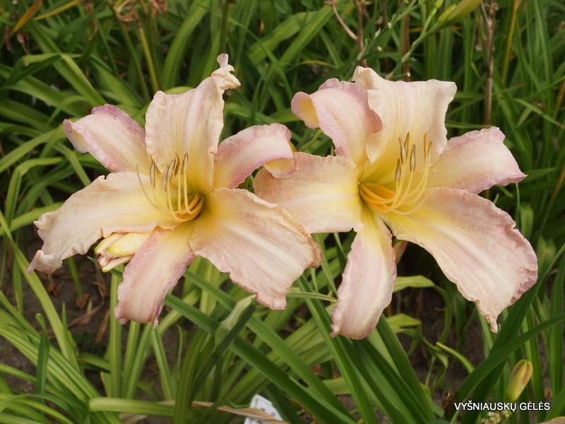 daylily-Panama-Pink-2