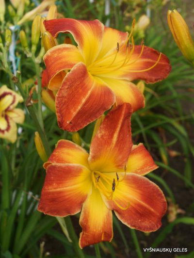 daylily-Panic-in-Detroit-2