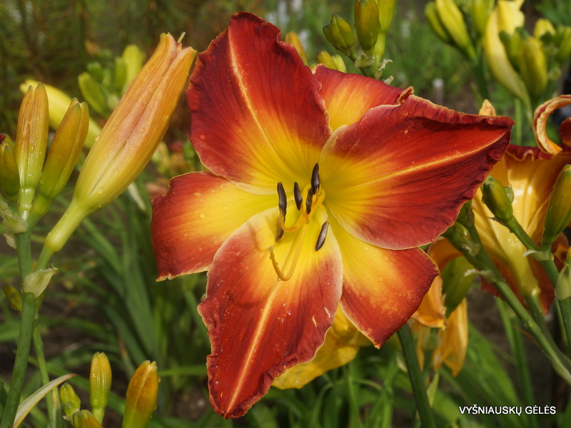 daylily-Panic-in-Detroit-3