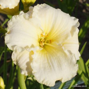 daylily-Polar-Picture-1
