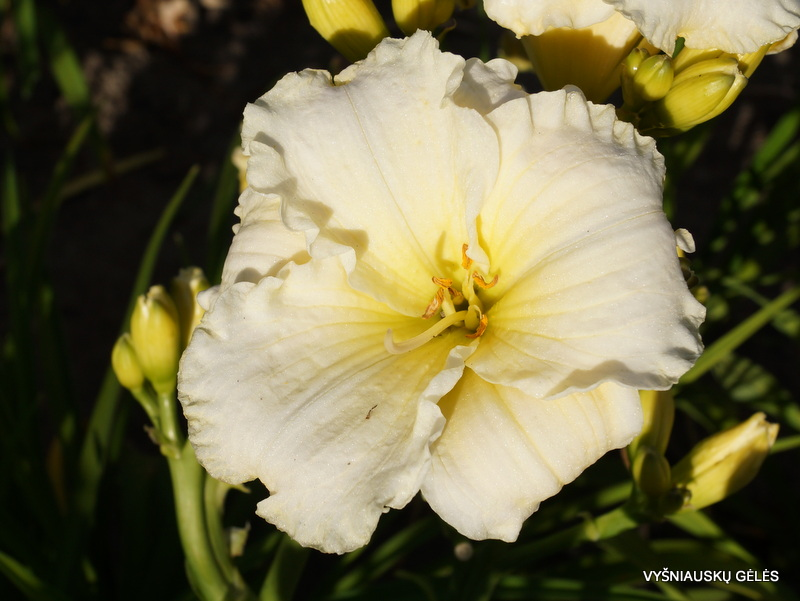 daylily-Polar-Picture-2-1