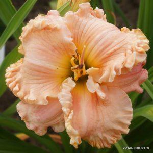 daylily-Pomp-Perfect-1