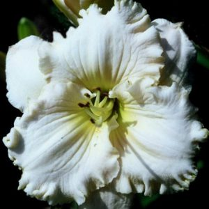 daylily-Princess-Bride