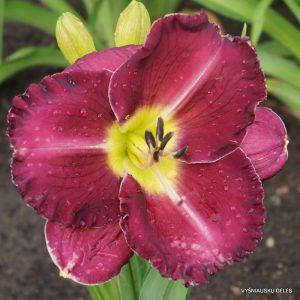 daylily-Purple-Pansy
