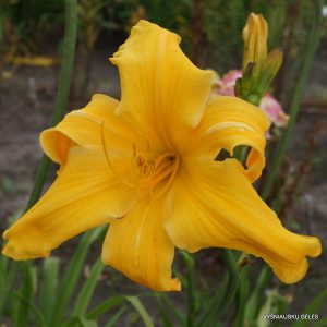 daylily-Reach-For-The-Heavens-1