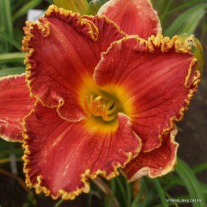 daylily-Red-Ragamuffin