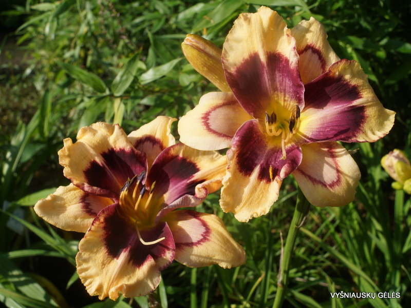 daylily-Ride-the-Lightning-3