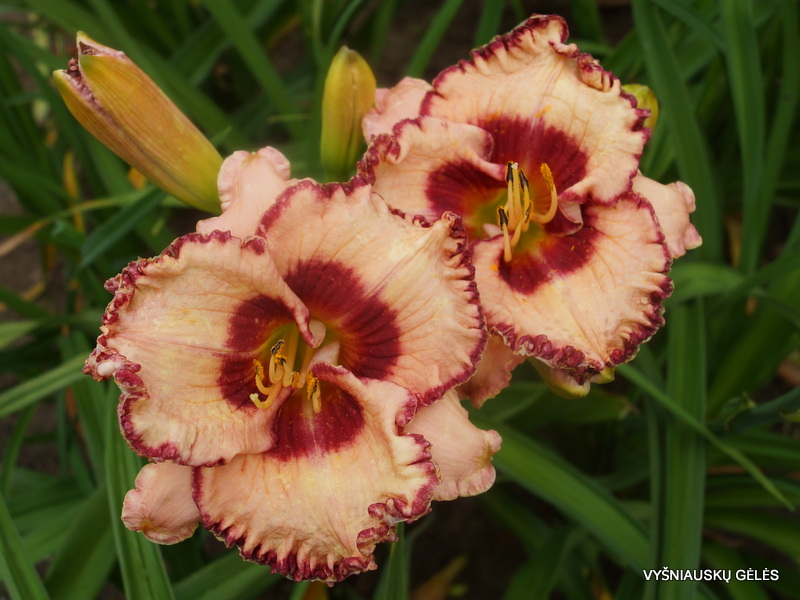 daylily-Rosy-Red-3