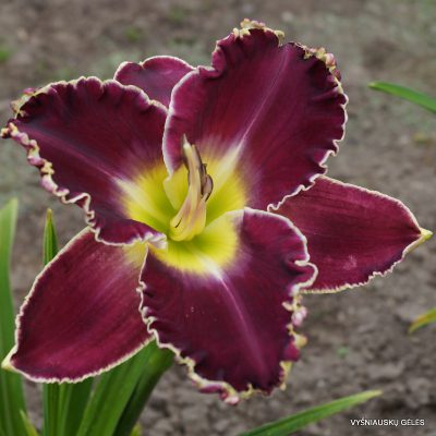 daylily-Royal-Invitation