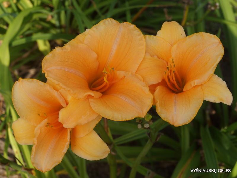 daylily-Ruffled-Apricot-3