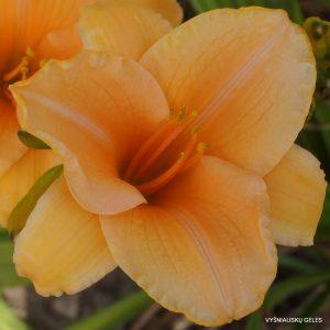 daylily 'Ruffled Apricot'