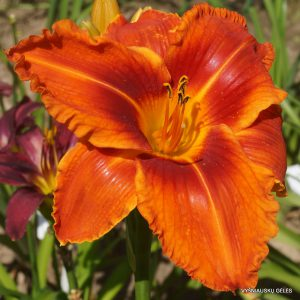 daylily-Stop-the-Car-1