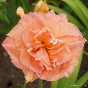 daylily-Tall-and-Fancy-1