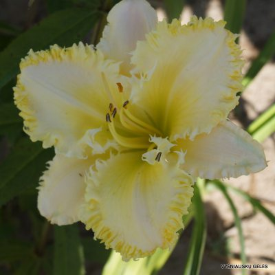 daylily-The-Sting-2