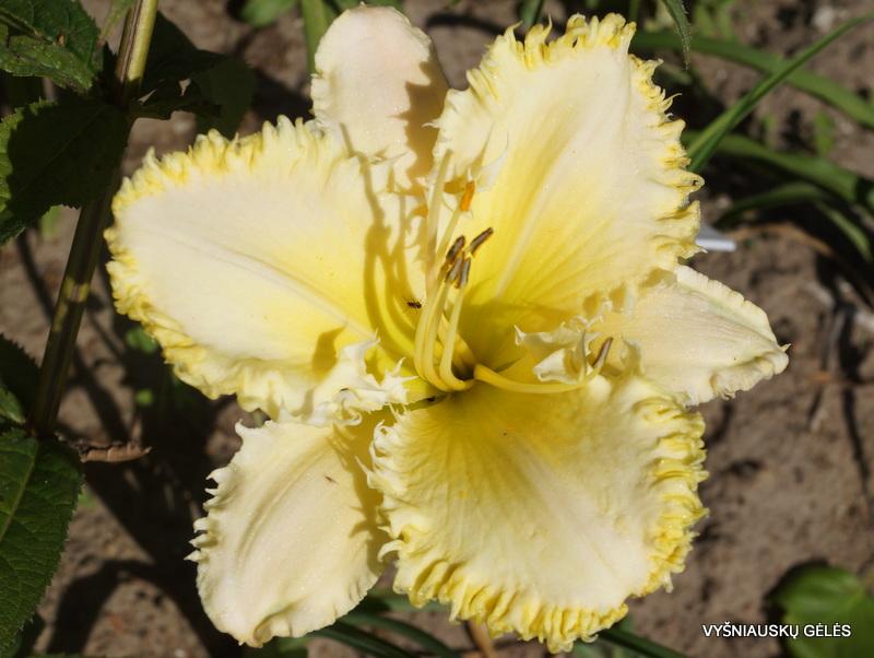 daylily-The-Sting-3