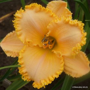 daylily-Tickle-Me-Elmo
