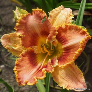 daylily-Totally-Hooked-1