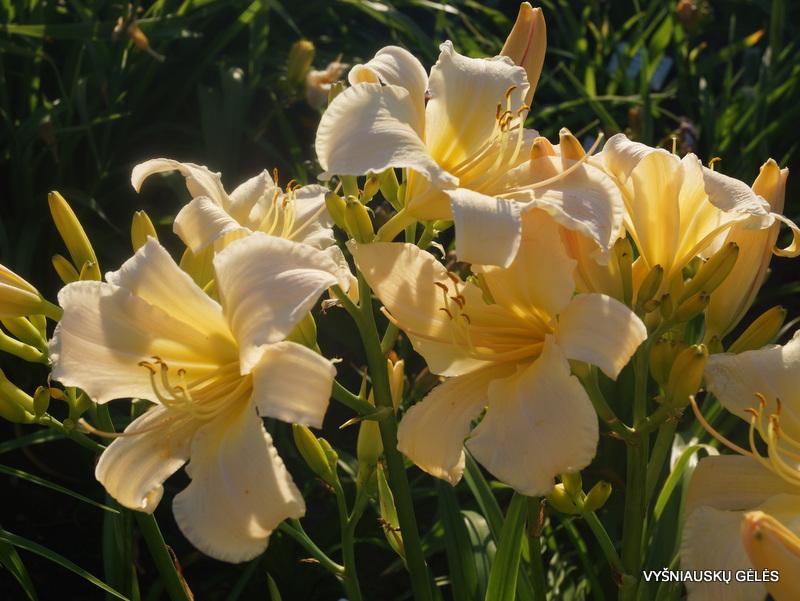 daylily-Tuxedo-Junction-3