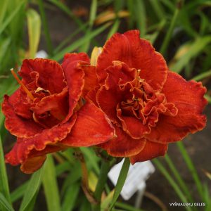 daylily-Uncle-Henry-Of-Oz