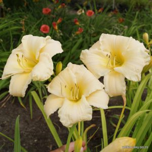 daylily-Vanilla-Stella-1