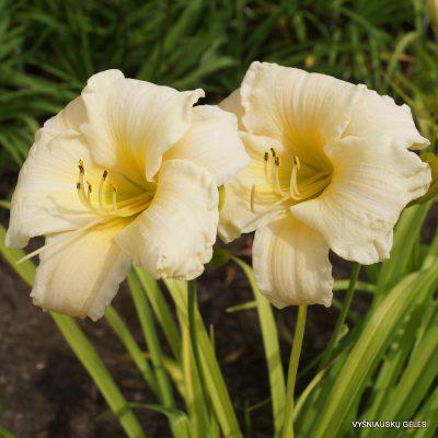 daylily-Vanilla-Stella-2