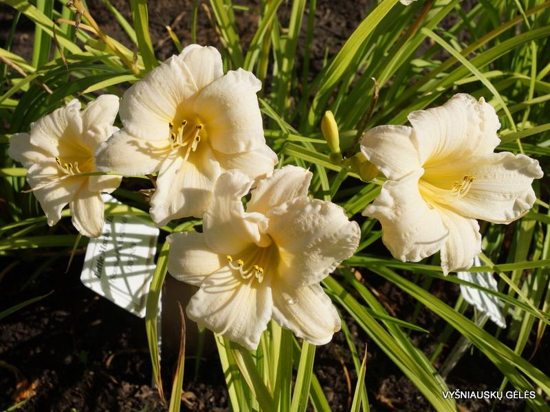 daylily-Vanilla-Stella-3