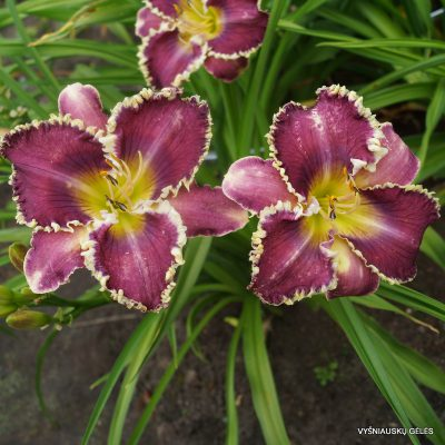 daylily-Veto-2-1