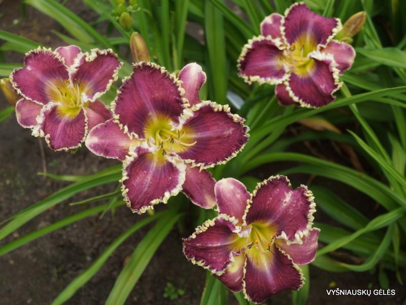 daylily-Veto-3-1