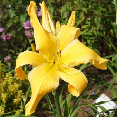 daylily-Websters-Yellow-Wonder-1