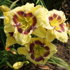daylily-Wedgefield-Plantation