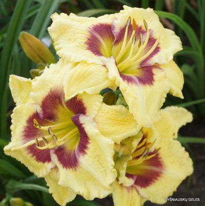 daylily-Wedgefield-Plantation-4