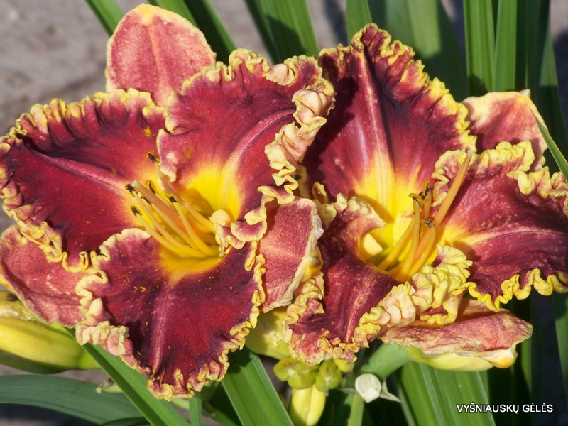 daylily-Without-Words-2