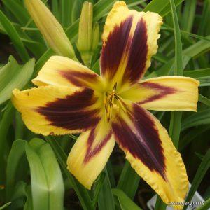 daylily-Zigane