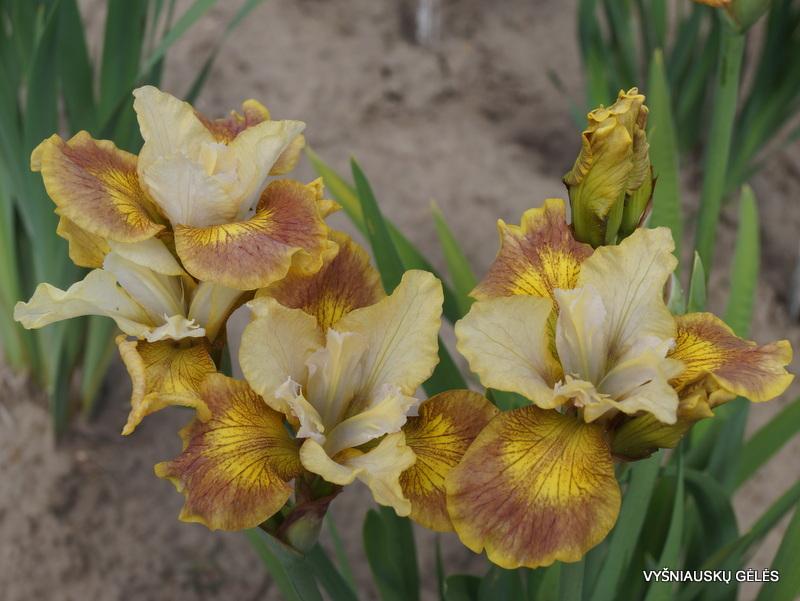 iris-sibirica-Flying-Fiddles-2