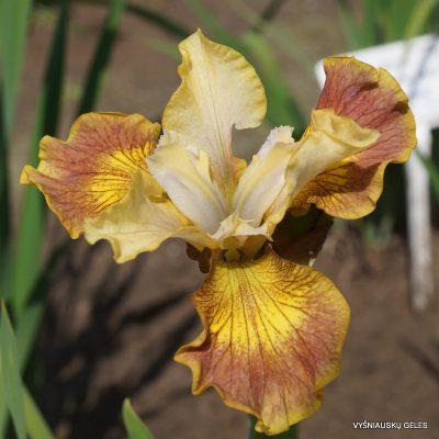 iris-sibirica-Flying-Fiddles-3