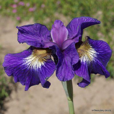 iris-sibirica-Tall-Dark-and-Handsome-3