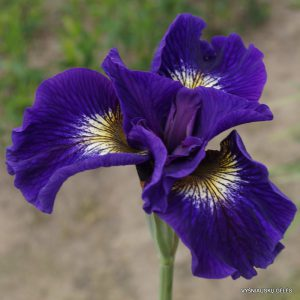 iris-sibirica-Tall-Dark-and-Handsome