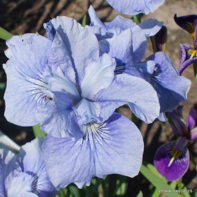 sibiriniai vilkdalgiai 'Blaue Schweben' (2)