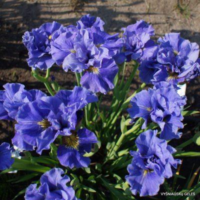 sibiriniai vilkdalgiai 'Tutu Blue' (2)