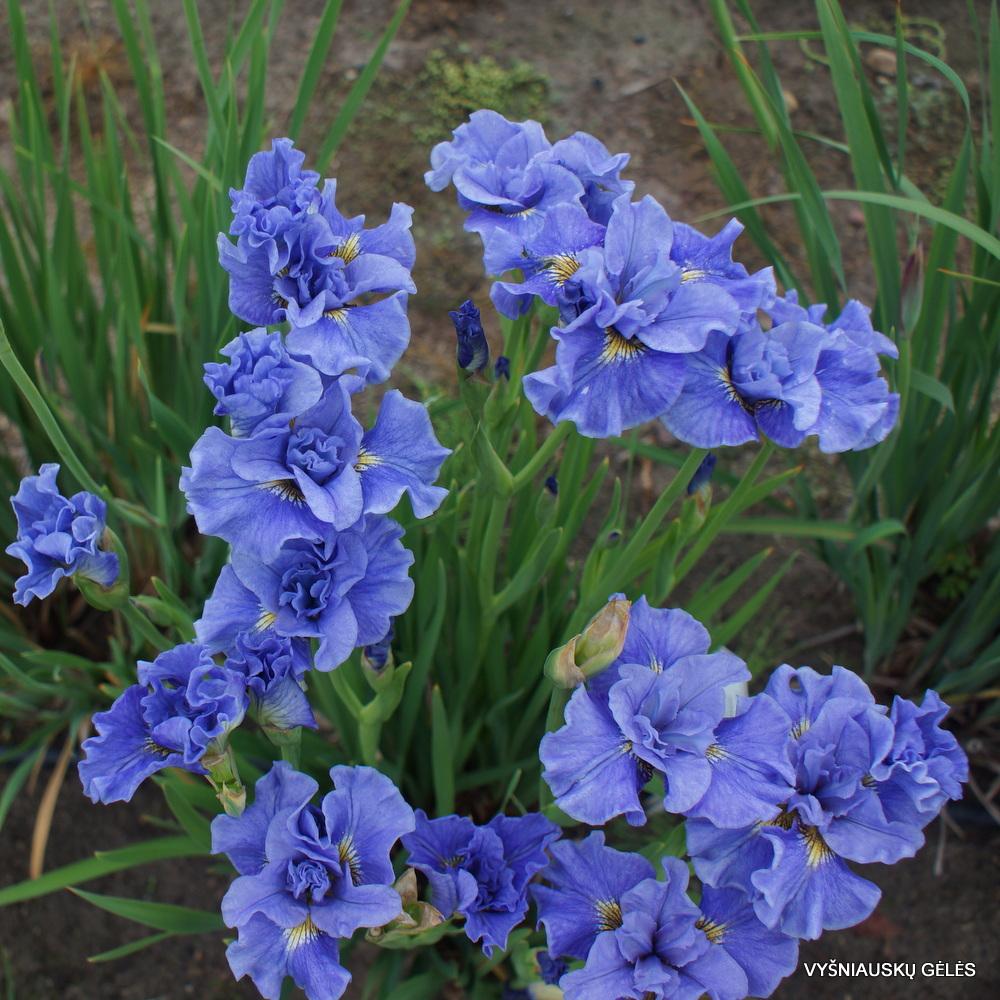 sibiriniai vilkdalgiai 'Tutu Blue' (3)