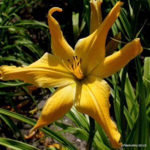 viendienė 'Webster's Yellow Wonder'