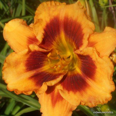 viendienės 'Orange Firecat'