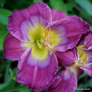 viendienės 'Prince of Purple'