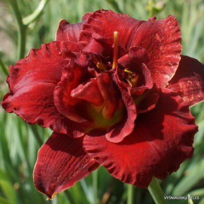 viendienės 'Red Boutonniere' (2)