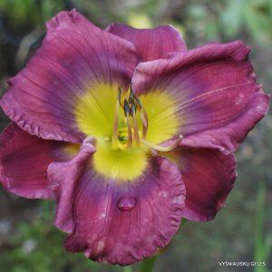 viendienės viendienės 'Prince of Purple'