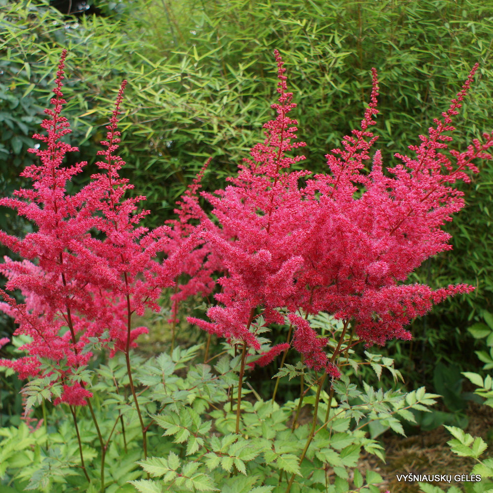 Astilbe 'Alive and Kicking' (2)